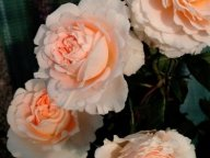 Parfum de Mireille