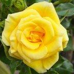 Flower Power Gold