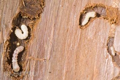 Личинки жука-короеда