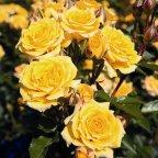 Yellow Clementine