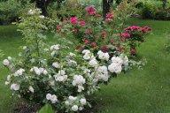 розы мускусный гибрид Динку (Dinky)  и  Нэж д'Этэ (Neige d'Ete)