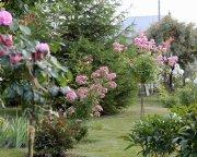 штамб Ballerina, кустарниковая роза Heavenly Pink, Guirlande d'Amour на заднем плане