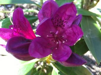 Цветок Поларнахт