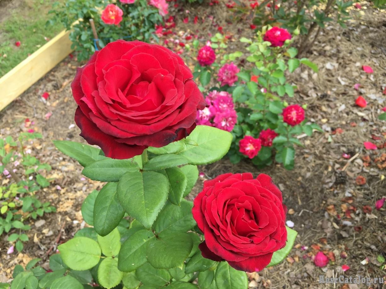 просматриваете роза гранд гала фото и описание отзывы это одна самых