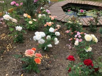 Розы посадки весной 2018г.