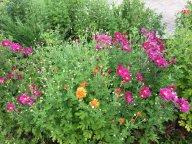 Зацветают хризантемы