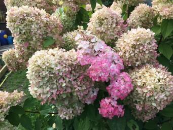 Лайм Лайт и цветение базального побега Фрайз Мелба