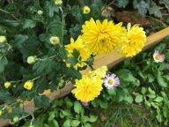 Хризантемы