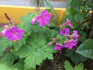 Цветет подаренная герань