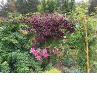 Rosa multiflora,  PURPUREA PLENA ELEGANS,  Iceberg