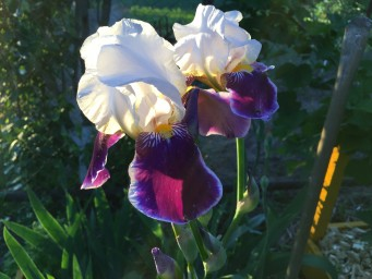Iris germanica Vabash