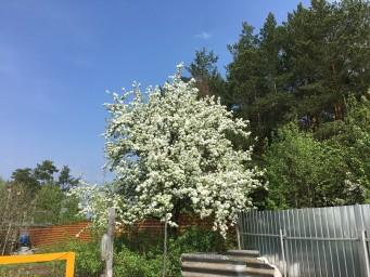 соседская груша-красавица в белом