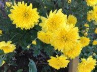 Хризантема - подарок из Питера