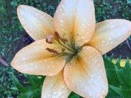 Лилии под дождем