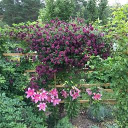 PURPUREA PLENA ELEGANS, розы и лилии