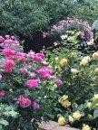 Ингландс роз и Голден Селебрейшн