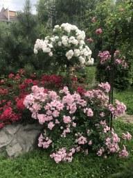 Штамб Aspirin® Rose, Paganini, Heavenly Pink
