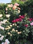 Штамб  Rose Des Cisterciens , желтая - Henrietta Barnett, Ascot