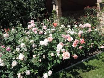 розы Остина