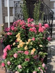 LEONARDO DA VINCI  и розы Кордана