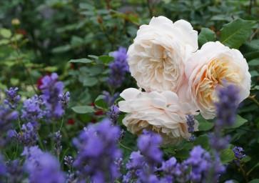 Crocus Rose и лаванда