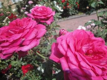 Johann Wolfgang von Goethe Rose