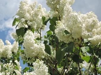 цветы Флоры