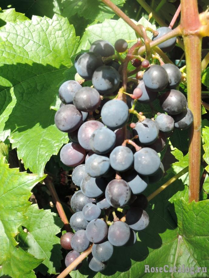 Виноград сорта Башкирский