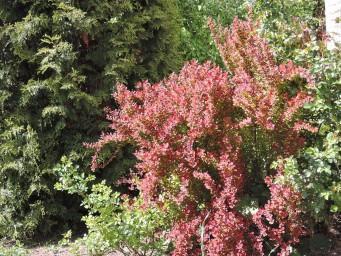 пылают и цветут барбарисы