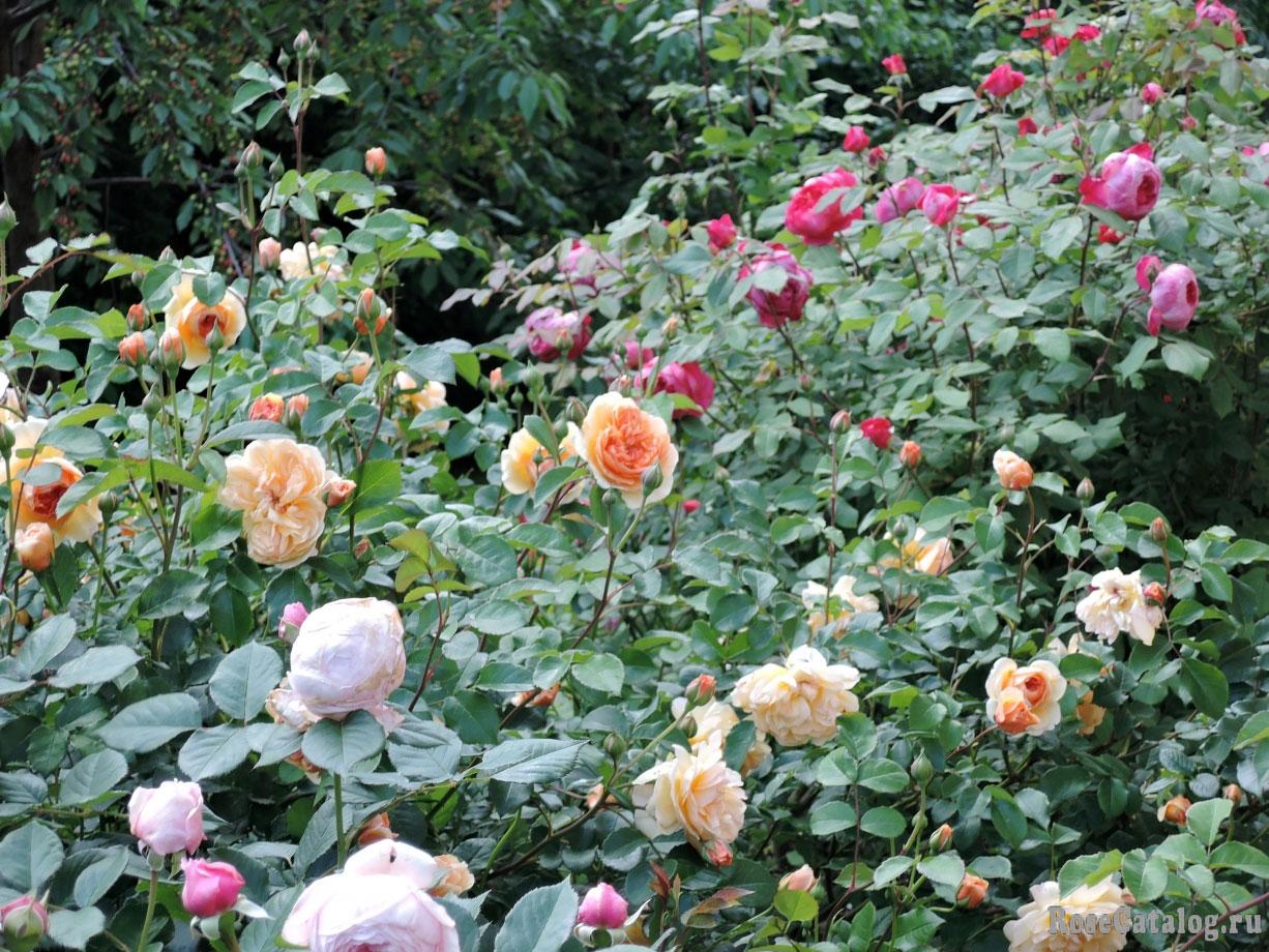 расцветают розы Остина