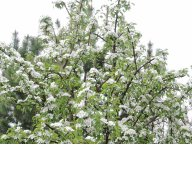08 мая зацвели груши