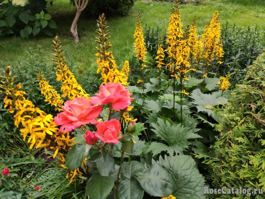 роза Христофер Коломб и бузульник