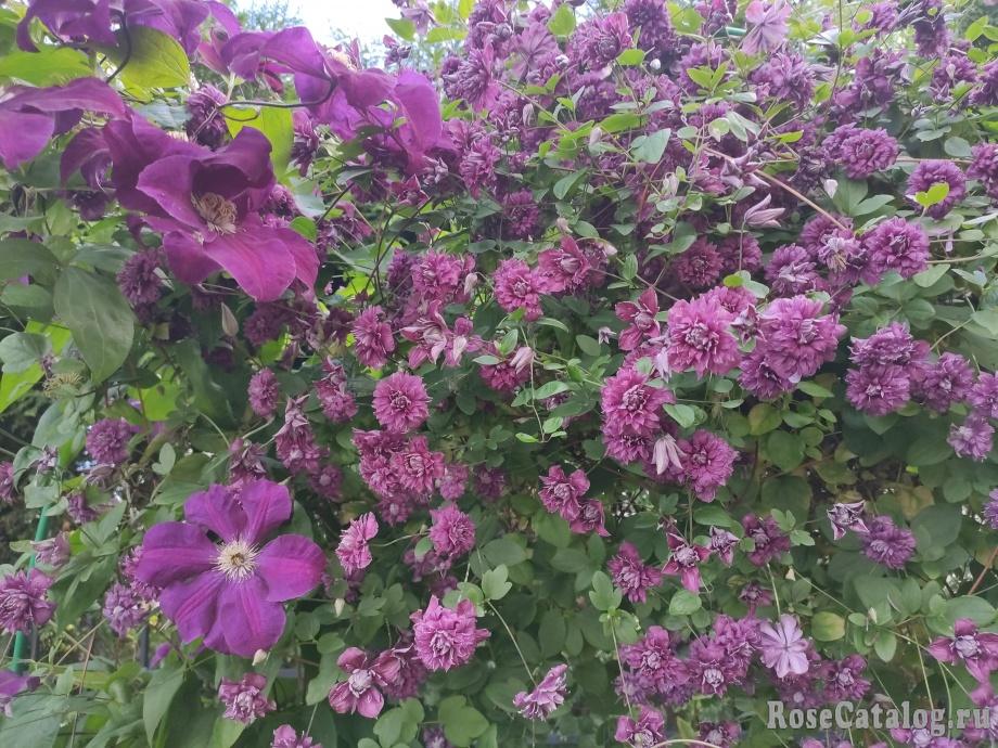 Purpurea Plena Elegans
