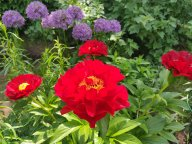 Пион Макинак Гранд Paeonia Mackinac Grand