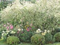 Спиреи, ива японская и лилии ОТ