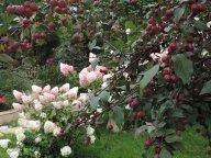 яблочки Нездвецого и гортензии Ванилла Фрейз