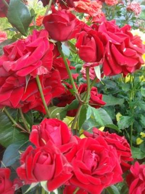 Сорта и выращивание роз флорибунда