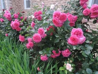 розы Поулсена