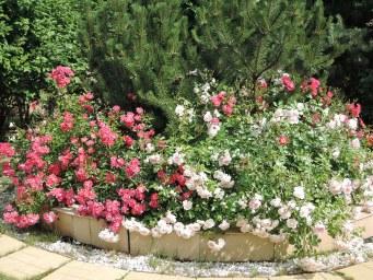 LOVELY MEILLAND , Fuchsia Meillandecor