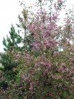Цветет декоративная яблоня Нездвецкого