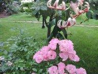 роза Хевенли Пинк и чалмовидная лилия Шехерезада