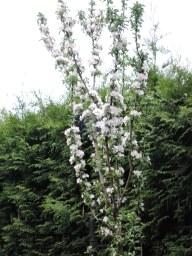 Яблонька колоновидная сорт Останкинское