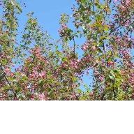яблоня Нездвецкого в бутонах