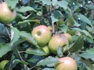 яблочки Медуница
