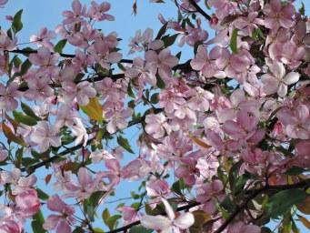 Цветочки яблони Нездвецкого