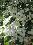 Грушевые цветы