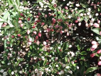 яблонька Саржента