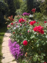 Гвоздика - травянка помощница роз