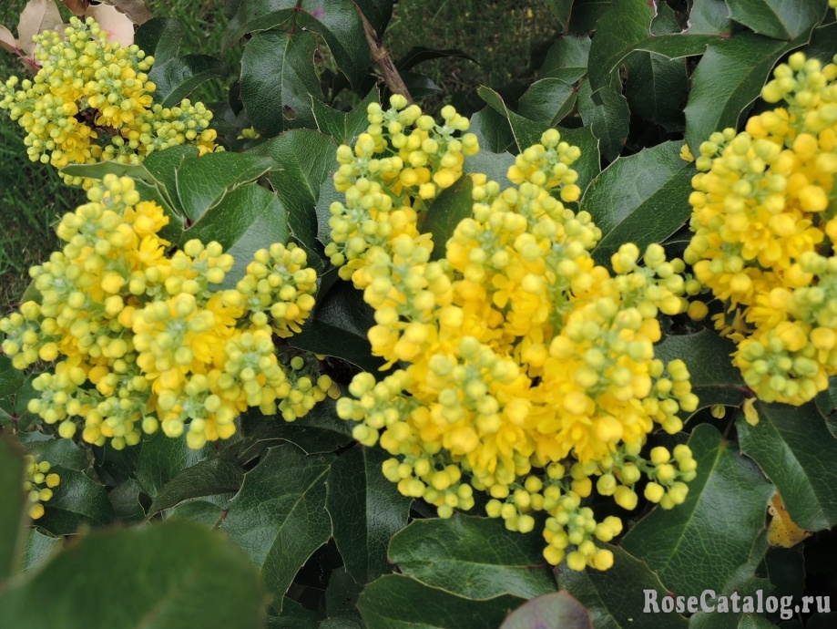 цветы магонии падуболистной