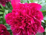 Пион Ред Чарм Paeonia Red Charm